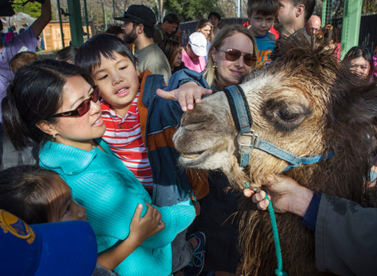 Camel, kings a hit at annual Three Kings fiesta in San Jose